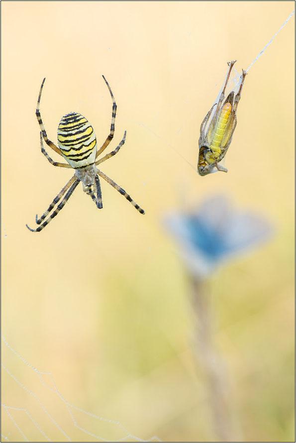 Hauptnahrung der Wespenspinnen: Heuschrecken, aber auch andere Insketen werden gerne verspeist.