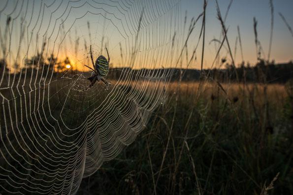 Wespenspinne in der taubenetzten Morgenwiese.
