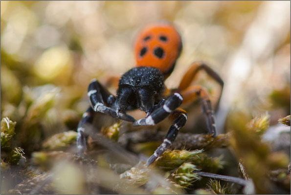 Verteidigungshaltung der Spinne