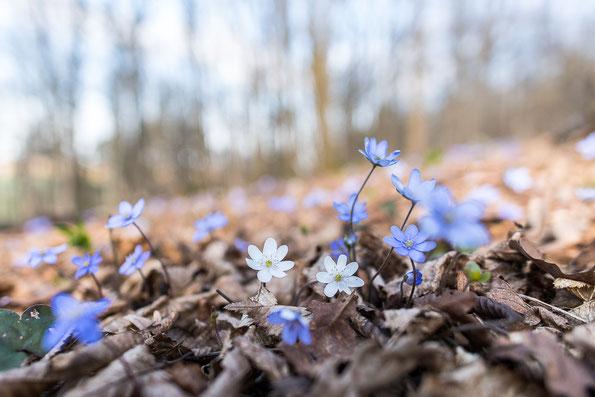 Leberblümchen im Habitat - lockerer Mischwald auf Kalkboden