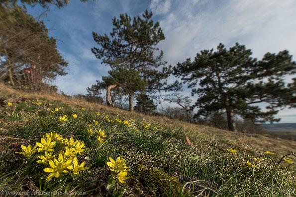 Offene, heiße und trockene Landschaften - Lebensraum der Ölkäfer (Felsen-Gelbstern in Nordthüringen)