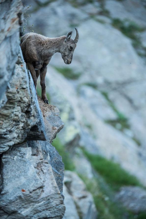 junge Steingeiß im Fels