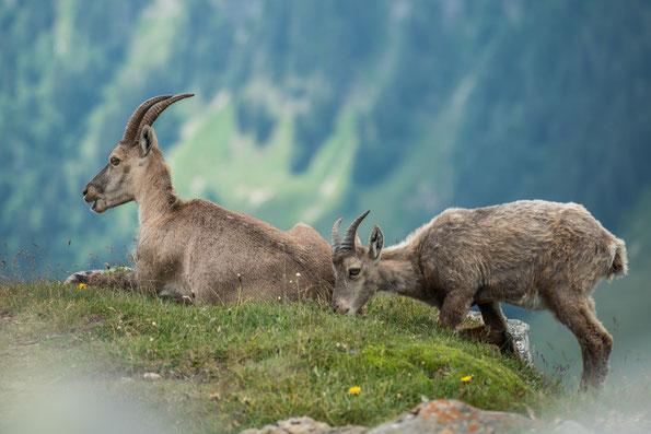 Am Grat entlang gibt es Salzleckstellen an denen sich die Tiere gerne aufhalten