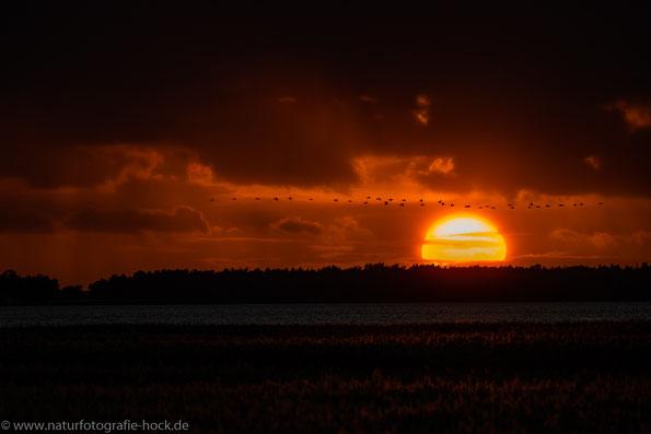 Spät, manchmal erst nach Sonnenuntergang beginnt das Schauspiel des Kranicheinfluges