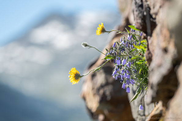 Glockenblumen an der Felswand