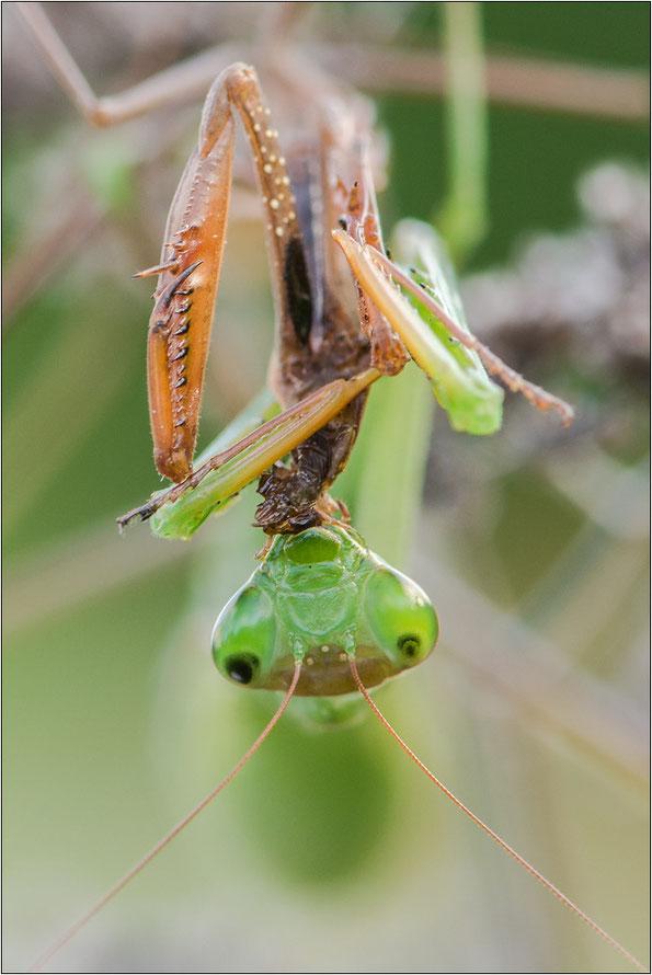 Die drei Ocellen befinden sich zwischen den Fühlern. Hier ist ein Weibchen abgebildet.