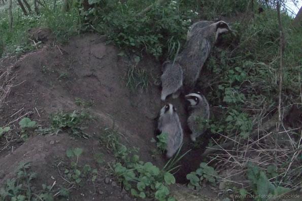 Wildkamera: Fähe mit 4 Jungdachen, diese purzelten anfangs in den steilen Trichter