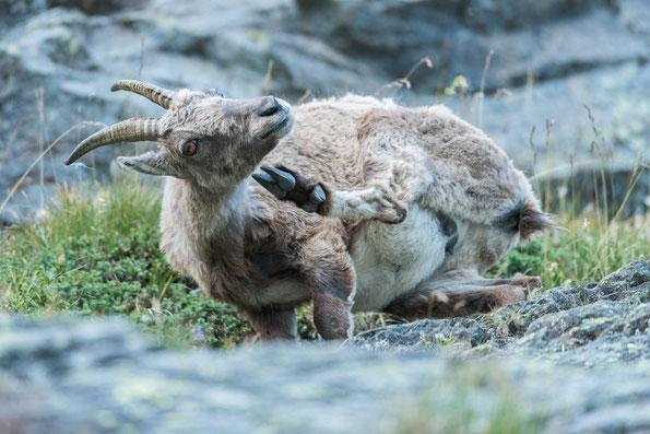 junge Steingeiß im steien Gelände - auf drei Beinen :-)
