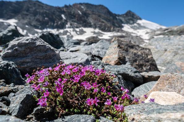 Gletschermannsschild (Androsace alpina)
