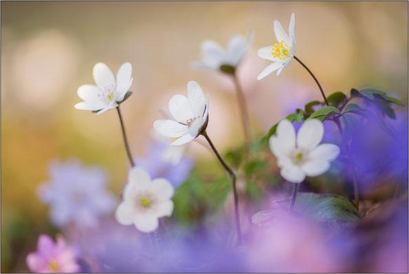 weiße Leberblümchen