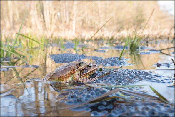 Grasfroschpaar im Biotop