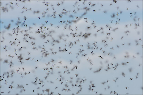 Fliegende Ameisen am Ranagipfel