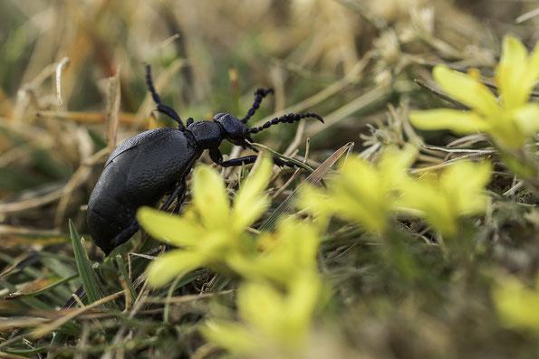 Schwarzblauer Ölkäfer im Lebensraum, hier Felsen-Gelbstern (Gagea bohemica)