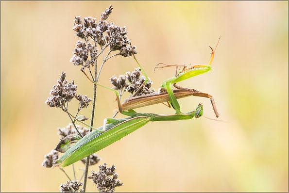 Gottesanbeterin (Mantis religiosa) - Charaktertier im Herbst