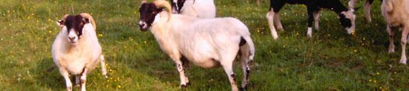 Schafscherer