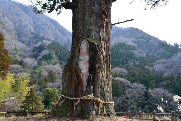 箒杉(ほうきすぎ)