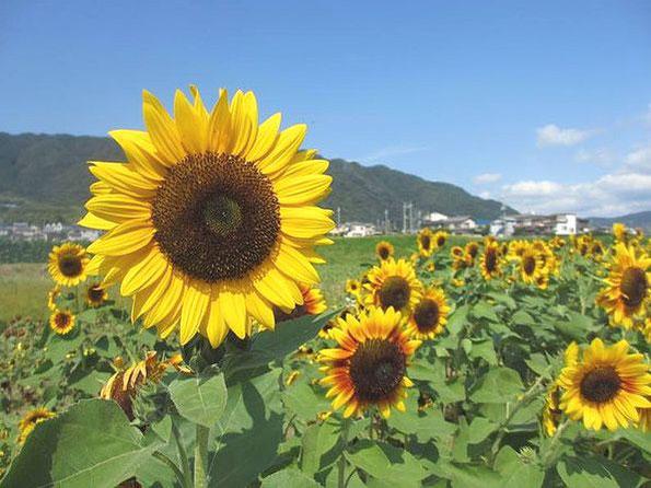 香川県仲多度郡まんのう町 ひまわり畑