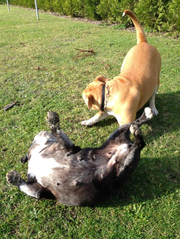 Bulldoggen im Spiel