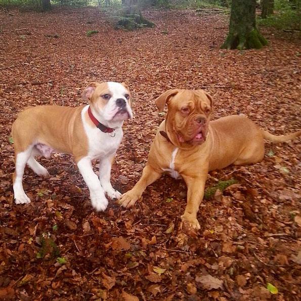 Continental Bulldog und Dogge