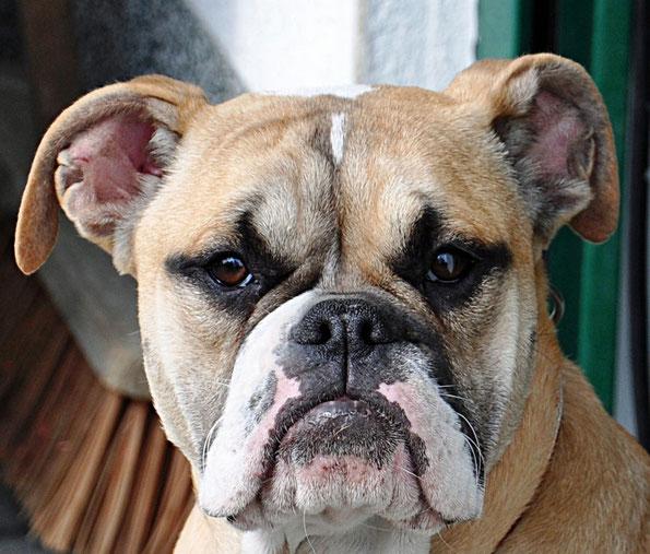 Continental Bulldog Hündin Bille Welpe