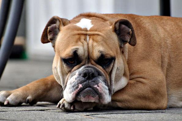 Hündin Bille Continental Bulldog Welpen