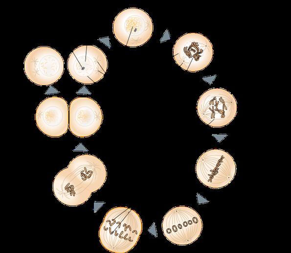 Genetik - KGS Tornesch Pannewitz