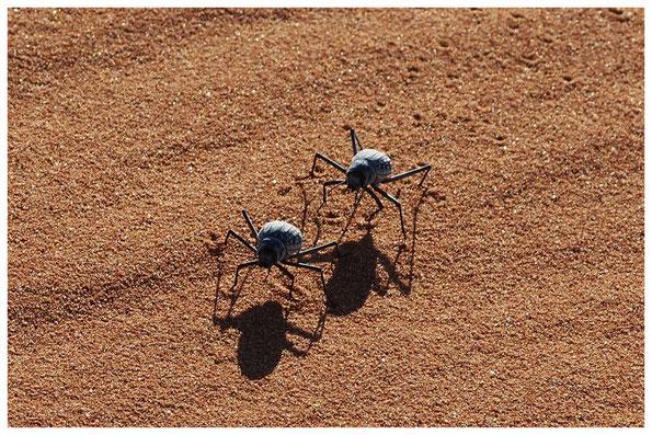 Ténébrionide de Namibie