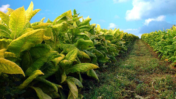 Plants de tabac génétiquement modifiés