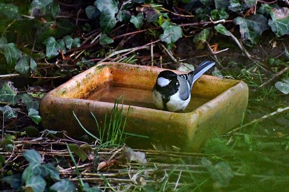 Eine Meise nimmt ein Bad. Vögel sind mit ihren Eigenarten im Garten gut zu beobachten.