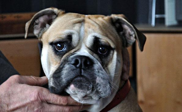 Continental Bulldog Hündin Emma Welpen