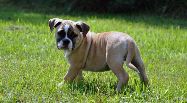 Bulldoggen Züchter