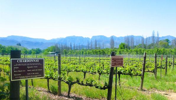 Witte wijnsoorten