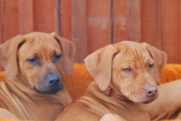 Black nose and livernose RR puppies, Ari Liberta litter, breeder K.Liberta