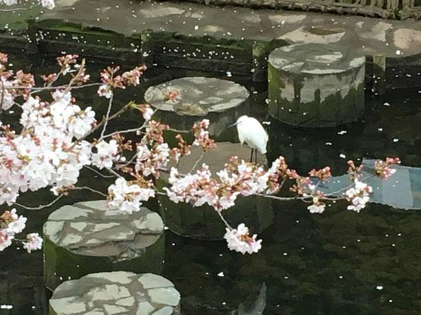 大岡川の桜と白鷺