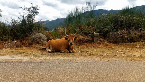 Eine Kuh am Rande einer Landstraße in Nordportugal