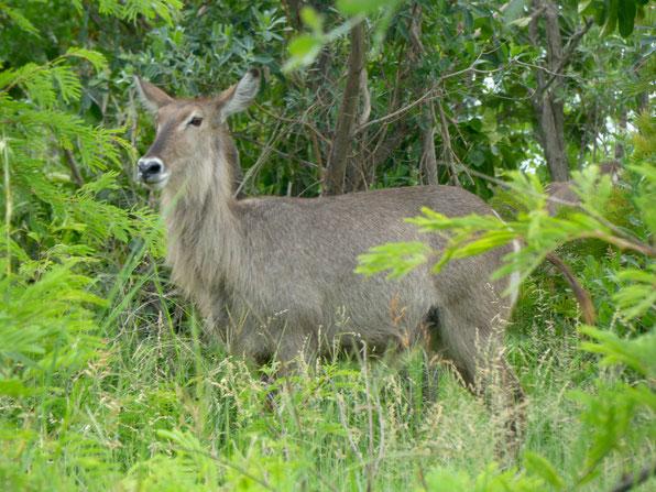 Krüger Nationalpark - Nyala