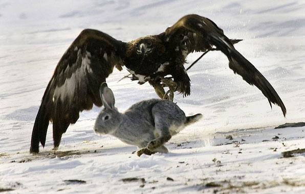 Halcon cazando naturaleza majestuoso