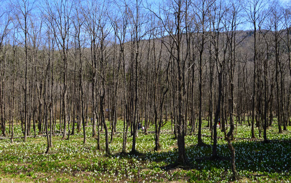 刺巻湿原のミズバショウの大群生。ハンノキ林の根元に群生する様はやはり圧巻です