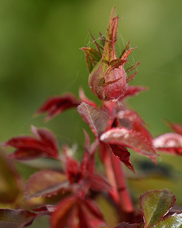 miniature rose bud