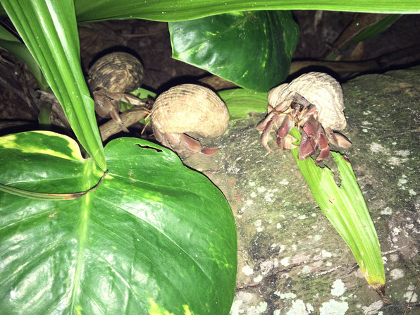 hermit crabs, night crabs, hermit crabs eating,