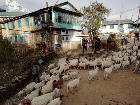 羊の群れに道を譲ります。
