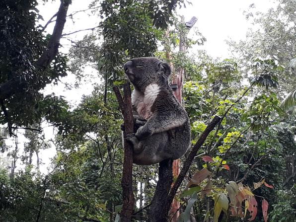 Koala Lone Pine Sanctuary Brisbane Queensland Australia