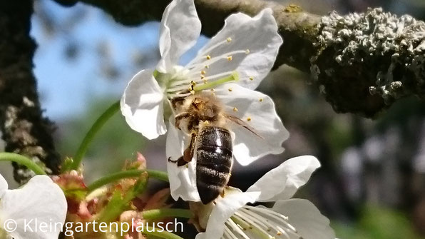 Biene steckt Kopf in Kirschblüte