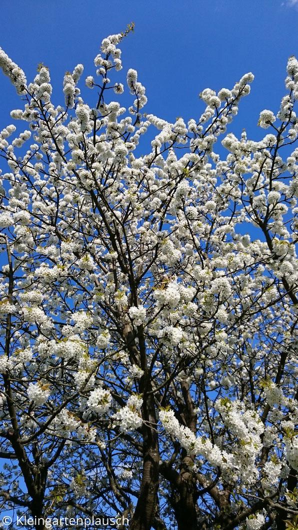 Kirschblüten und die Spitze des Baums