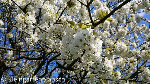 Blütenmassen in der Krone des Kirschbaums