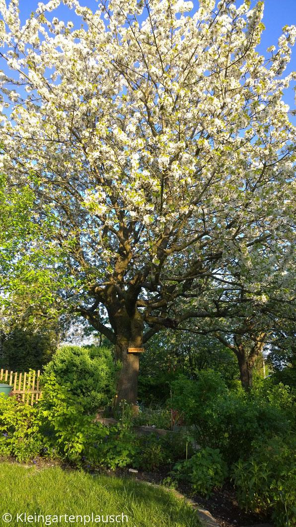 Der gesamte alte Kirschblaum in Blüte