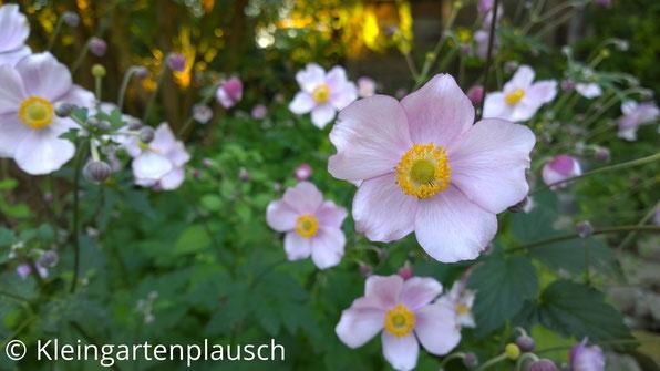 Zartrosa Blüten Herbstanemone Tomentosa