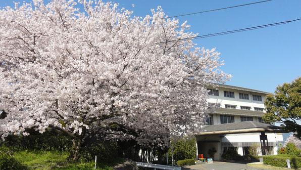 かんぽの宿富田林の桜