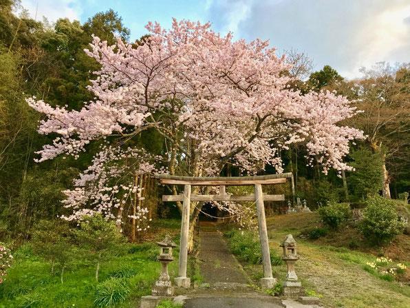 隠岐の島 京見屋分店 ブログ 春 西田の神社 桜