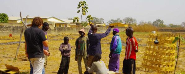 Paulownia Plantage in Afrika (Senegal)